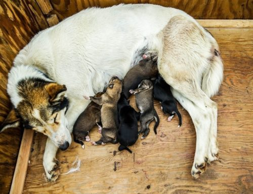 Should I Let My Dog Have a Litter of Puppies Before Neutering Her?